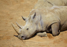 White Rhino resting in the sun Royalty Free Stock Images