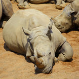 White Rhino resting in the sun Stock Image