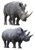 White rhino rhinoceros isolated animal