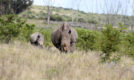 White rhino / rhinoceros mother and calf. Stock Photo
