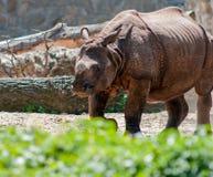A white rhino Stock Image
