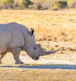 White Rhino. Or Rhinoceros while on safari in Botswana, Africa Royalty Free Stock Images