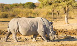White Rhino. Or Rhinoceros while on safari in Botswana, Africa Stock Images