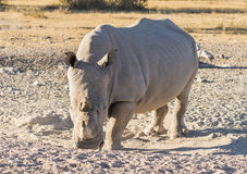 White Rhino. Or Rhinoceros while on safari in Botswana, Africa Stock Photo