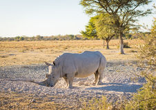 White Rhino. Or Rhinoceros while on safari in Botswana, Africa Royalty Free Stock Photos