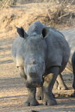 White Rhino Stock Photography
