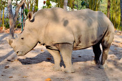 White rhino. Rhinos have sharp hearing and a keen sense of smell Royalty Free Stock Images