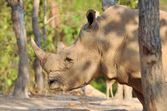White rhino. Rhinos have sharp hearing and a keen sense of smell Stock Photo