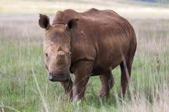 White Rhino in Rietvlei NR Royalty Free Stock Photo