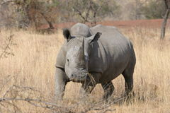 White Rhino Run baby Run. Frontal, with partial side view African White Rhino, stalking photographer royalty free stock image