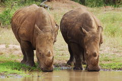 White Rhino's. Two adult male White Rhino's drinking Royalty Free Stock Photography