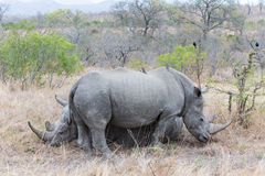 White Rhino's Resting Royalty Free Stock Images
