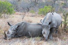 White Rhino's resting Stock Photo