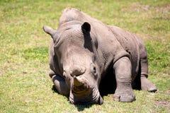 A white rhino in Safari park, Australia Royalty Free Stock Images