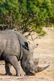 White rhino in safari park Royalty Free Stock Images