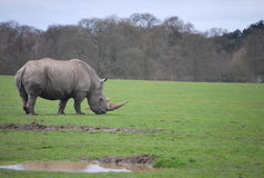 White rhino in the safari park. The largest extant species of rhinoceros. It has a wide mouth used for grazing and is the most social of all rhino species. It Royalty Free Stock Photos