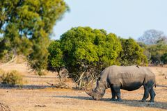White rhino in safari park Royalty Free Stock Images