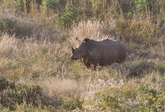 White Rhino in Savanna/Bush Landscape royalty free stock image