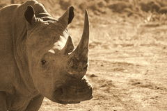 White rhino shows off her horn Royalty Free Stock Photography