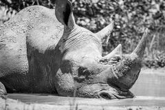 White rhino sleeping in black and white. Royalty Free Stock Photography