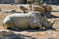 White Rhino sleeping Royalty Free Stock Photo