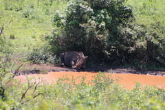 White Rhino sleeping under a bush. White Rhino captured in the wilderness of Hluhluwe Imfolozi Reserve, KwaZulu-Natal, South Africa stock photo