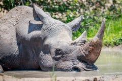 White rhino sleeping in the water. Stock Photo