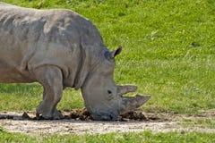 White rhino smelling poo. A white rhino smelling his poo Stock Photo