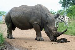 White rhino sniffing border post Stock Image