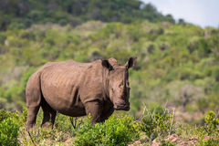 White Rhino in South Africa Royalty Free Stock Image