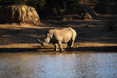 White rhino from South Africa Royalty Free Stock Images