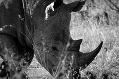 White rhino from South Africa Stock Photography