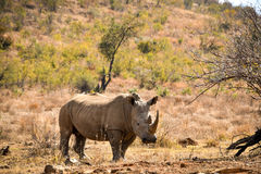 White rhino from South Africa Stock Photos