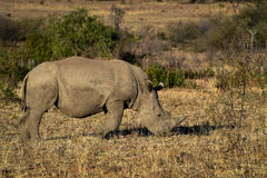 White rhino from South Africa Royalty Free Stock Photos