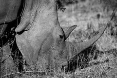 White rhino from South Africa Stock Image