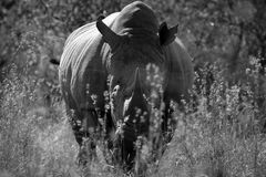 White rhino from South Africa Royalty Free Stock Photo