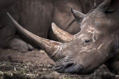 White Rhino. In Southern Africa, The Rhinos are Being pouched for their Horns causing the Animal to be come endangered in Southern Africa stock photo
