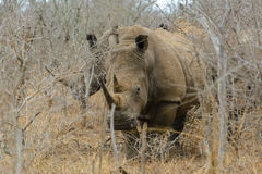 White rhino or square-lipped rhino in Hlane Royal National Park, Swaziland Royalty Free Stock Photo