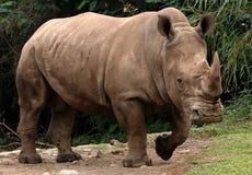 White rhino. Or square-lipped rhinoceros (Ceratotherium simum Stock Photography