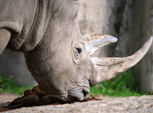 White Rhino. The white or square-lipped rhino or rhinoceros (Ceratotherium simum) is the largest species of rhinoceros existing. It has a wide mouth used for royalty free stock photos