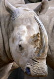 White Rhino. The white or square-lipped rhino or rhinoceros (Ceratotherium simum) is the largest species of rhinoceros existing. It has a wide mouth used for royalty free stock image