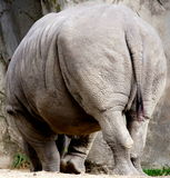 White Rhino. The white or square-lipped rhino or rhinoceros (Ceratotherium simum) is the largest species of rhinoceros existing. It has a wide mouth used for stock images