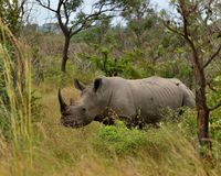 White Rhino standing in bushveld Stock Photos