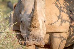 White rhino starring at the camera. Royalty Free Stock Images