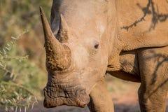 White rhino starring at the camera. Royalty Free Stock Image