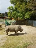 White rhino stood under the sun in a zoo. Mammal and herbivorous, species threatened, animal with grey skin and with two horns, originating in the African Royalty Free Stock Images