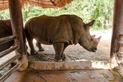 White rhino. The white rhino in thailand stock photos
