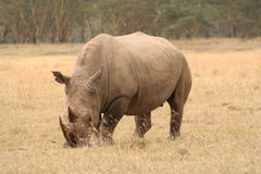 White Rhino three quarter view. White rhinos are grazers and less grumpy than their cousins but still dangerous stock photos
