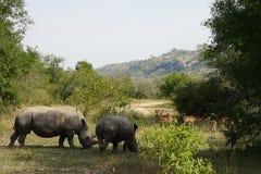 White Rhino. Two white Rhino in the Krueger National Park Stock Photo