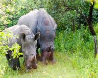 Free White Rhino, Uganda Stock Photos - 94331483